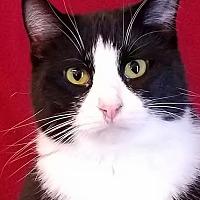 Domestic Mediumhair Cat for adoption in Colfax, Iowa - Cheyenne