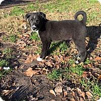 Adopt A Pet :: Scarlett - Sagaponack, NY