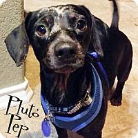 Adopt A Pet :: Pluto Pep - San Antonio, TX