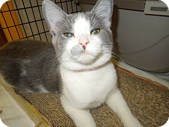 Domestic Shorthair Cat for adoption in Medina, Ohio - Laura