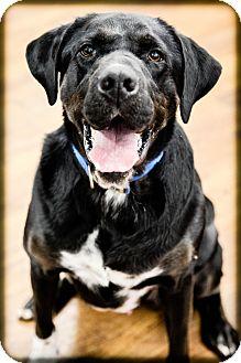 Labrador Retriever Mix Dog for adoption in Lake Odessa, Michigan - Ceasar