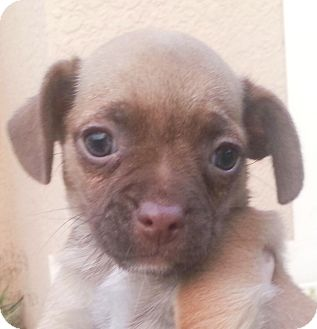 Pug/Dachshund Mix Puppy for adoption in Orlando, Florida - Lele#6F