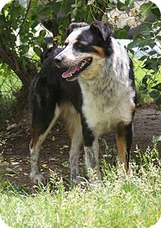 Australian Shepherd/Australian Cattle Dog Mix Dog for adoption in Yuba City, California - 05/05 Shep