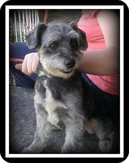 Schnauzer (Miniature) Mix Dog for adoption in Indian Trail, North Carolina - Willie