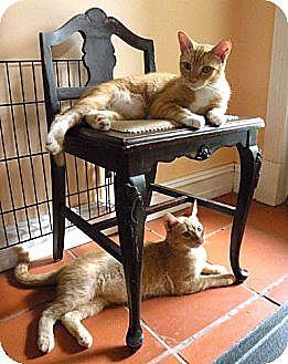 Siamese Cat for adoption in Rohrersville, Maryland - Stewart Couch Potatoe