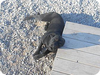 Labrador Retriever/Basset Hound Mix Dog for adoption in Batesville, Arkansas - Louise