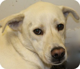 Spitz (Unknown Type, Large) Mix Dog for adoption in New Roads, Louisiana - Lexie