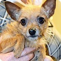 Adopt A Pet :: Perky - Canoga Park, CA