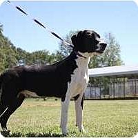 Adopt A Pet :: Coby - Brattleboro, VT