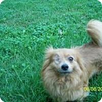 Adopt A Pet :: Munchkin - Shawnee Mission, KS