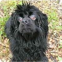 Adopt A Pet :: Gucci - Tacoma, WA