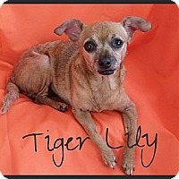 Adopt A Pet :: Tiger Lily - Escondido, CA