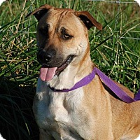 Adopt A Pet :: Dillon - Adoption Pending - Milford, CT