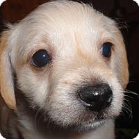 Adopt A Pet :: Josie - San Antonio, TX