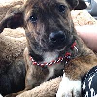 Adopt A Pet :: Bambi - Ijamsville, MD