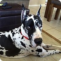 Adopt A Pet :: Apollo - O'Fallon, MO