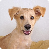 Adopt A Pet :: Jarvine - Sudbury, MA