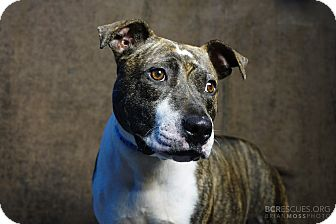 American Pit Bull Terrier Mix Dog for adoption in Cliffside Park, New Jersey - FLORA