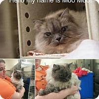 Adopt A Pet :: Moo Moo - Devon, PA
