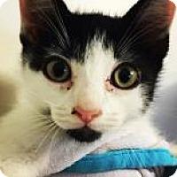 Domestic Shorthair Kitten for adoption in Santa Cruz, California - Marley