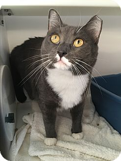 Domestic Shorthair Cat for adoption in Goshen, New York - Blu