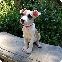 Adopt A Pet :: Tia - Houston, TX