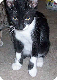 Domestic Shorthair Kitten for adoption in Morriston, Florida - WALDO