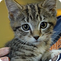 Domestic Shorthair Kitten for adoption in Greenfield, Indiana - Elyse
