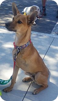 Terrier (Unknown Type, Medium) Mix Dog for adoption in Dallas, Texas - Bucky