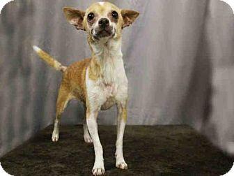 Chihuahua Mix Dog for adoption in Sugar Land, Texas - *FAJITA