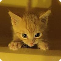 Adopt A Pet :: Chris Hemsworth - Middletown, CT