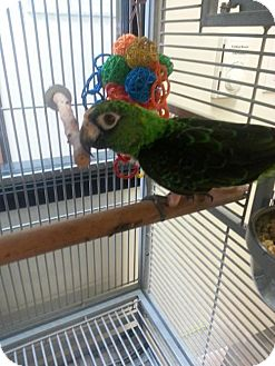 Parrot - Other for adoption in Oceanside, California - Milton