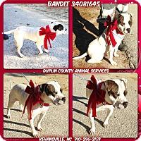 Adopt A Pet :: BANDIT - Kenansville, NC