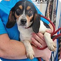 Adopt A Pet :: Piper - Elizabeth City, NC