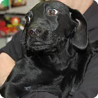 Adopt A Pet :: Little Rocky - Brooklyn, NY