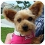 Photo 1 - Yorkie, Yorkshire Terrier Dog for adoption in Hardy, Virginia - Addie
