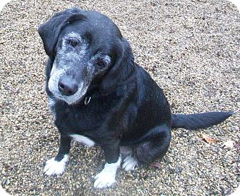 Labrador Retriever/Border Collie Mix Dog for adoption in Fennville, Michigan - Jake