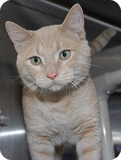 Domestic Shorthair Cat for adoption in Eagan, Minnesota - Ethan
