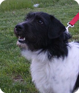 Tibetan Terrier/Wirehaired Pointing Griffon Mix Dog for adoption in ...