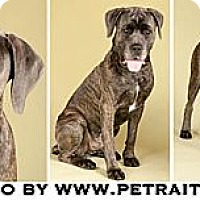 Adopt A Pet :: Apollo - Chicago, IL