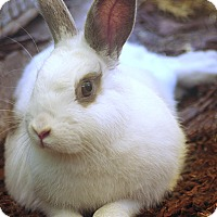 Adopt A Pet :: Snowflake - Santa Barbara, CA