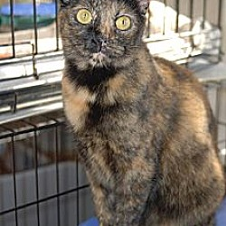 Photo 3 - Domestic Shorthair Cat for adoption in New Port Richey, Florida - Neely