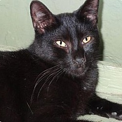 Photo 2 - Domestic Shorthair Cat for adoption in Palm City, Florida - Jetson