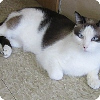 Siamese Cat for adoption in Glenwood, Minnesota - Maxwell