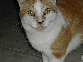 Domestic Shorthair Cat for adoption in Naples, Florida - Sawyer
