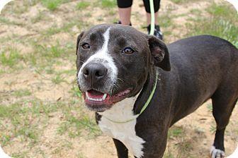American Bulldog Mix Dog for adoption in Macon, Georgia - Reidun