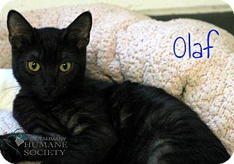 Domestic Shorthair Kitten for adoption in Covington, Louisiana - Olaf