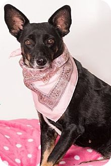 Australian Kelpie Mix Dog for adoption in Canoga Park, California - Bella