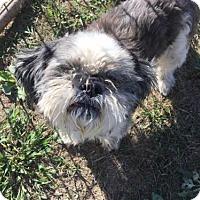 Shih Tzu Dog for adoption in Zaleski, Ohio - Skeeter