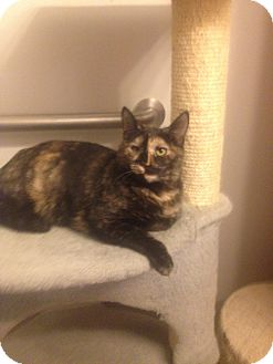 Domestic Shorthair Cat for adoption in Dale City, Virginia - Alura